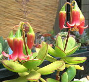 多肉植物パピラリス(ゴルビュー)の花